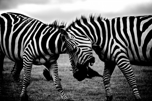 africa-animals-zebras-3158-525x350