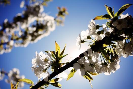 blossoms-cherry-sky-4671-524x350